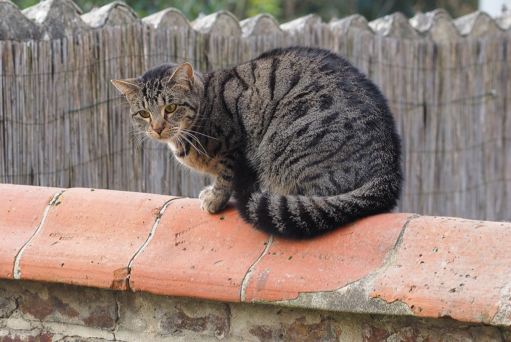Disappearance alert Cat miscegenation Male , 6 years Rueil-Malmaison France