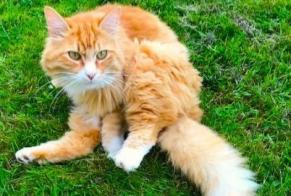 Disappearance alert Cat Male , 3 years Saint-Georges-sur-Baulche France