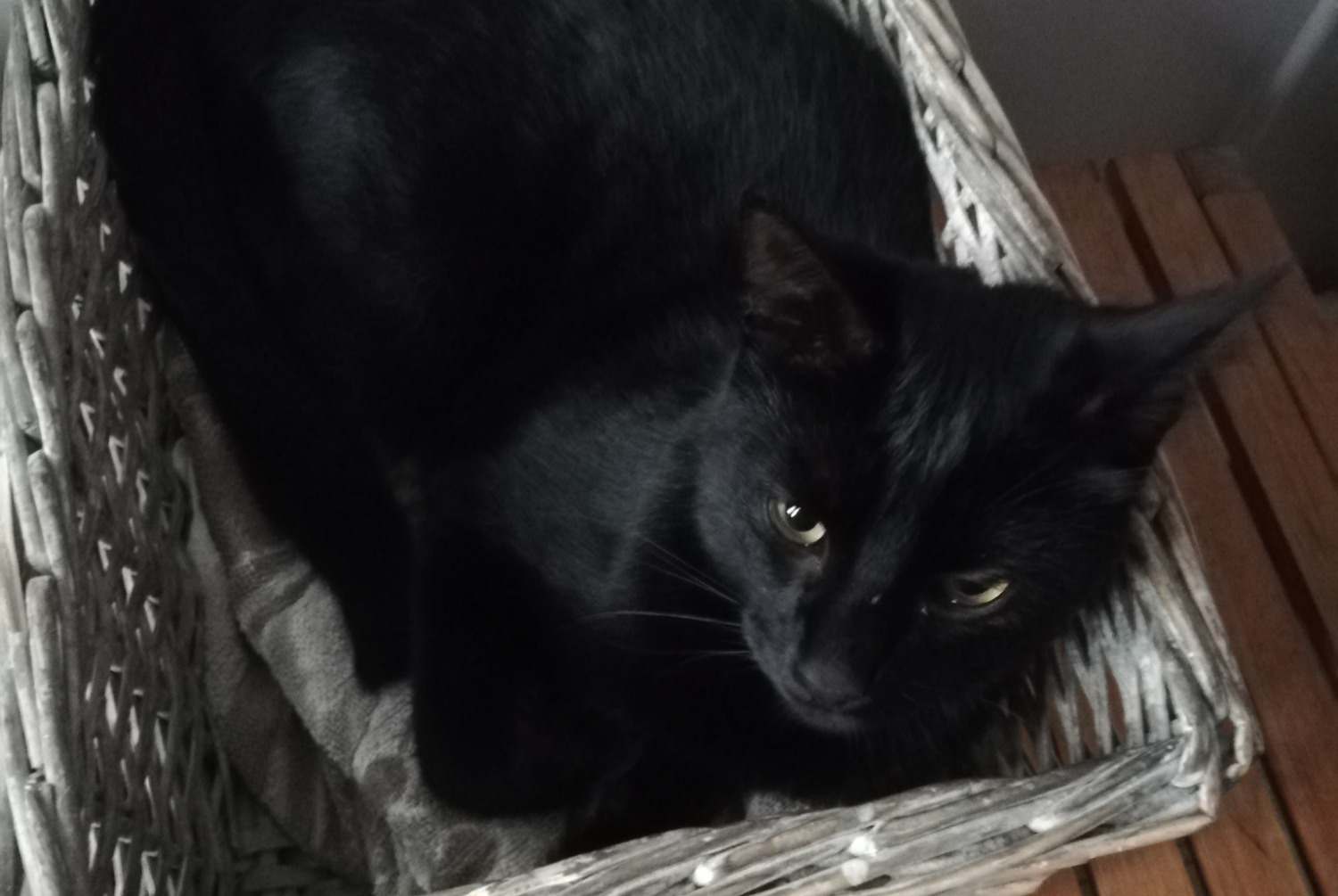 Disappearance alert Cat Male , 1 years Saint-Sulpice-la-Pointe France