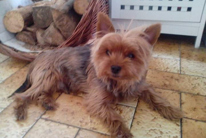 Disappearance alert Dog  Male , 10 years Saint-Paulien France