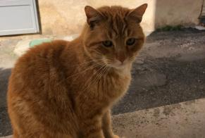 Disappearance alert Cat miscegenation Male , 4 years Lisle-sur-Tarn France