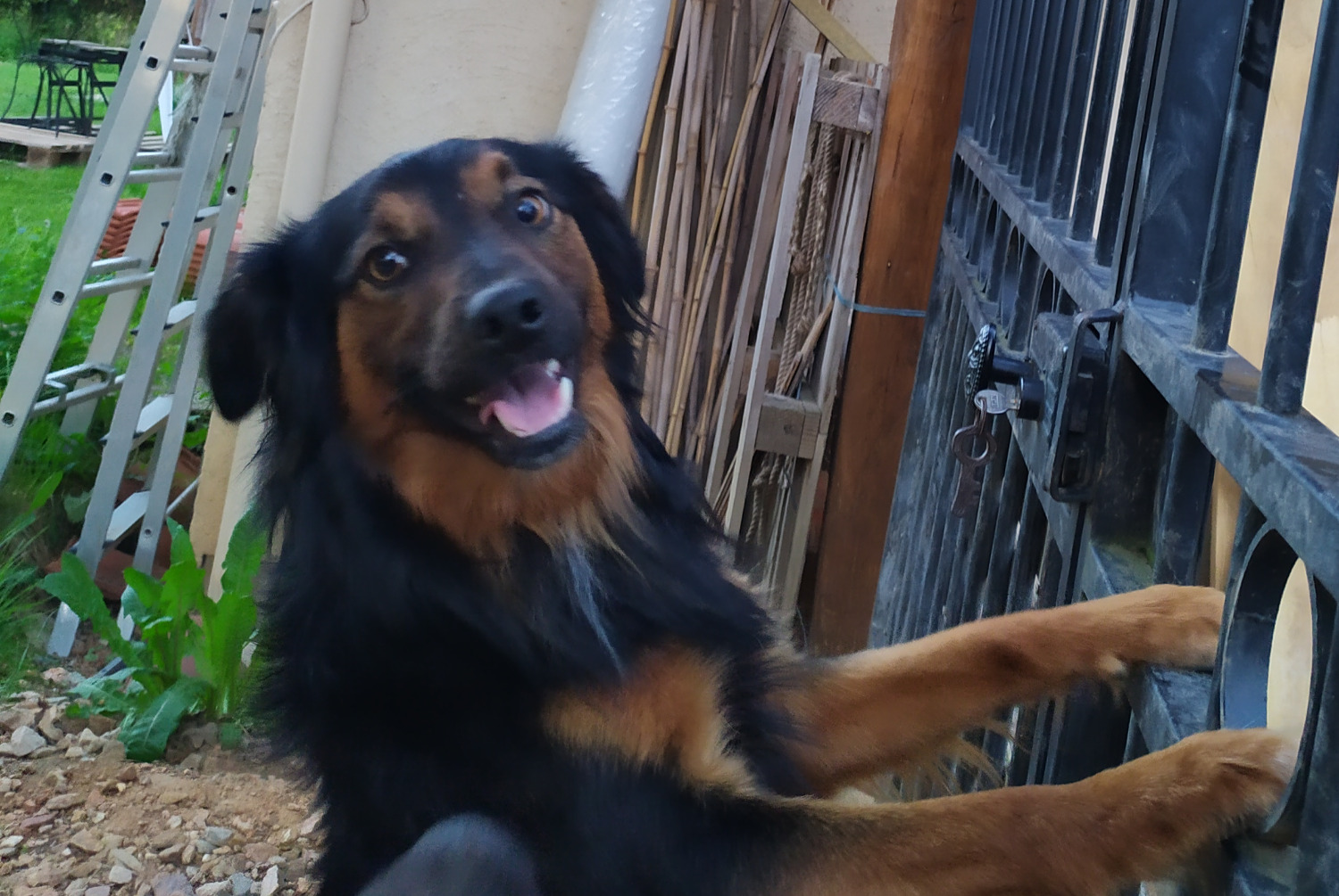 Discovery alert Dog miscegenation Male , 2 years Lezoux France