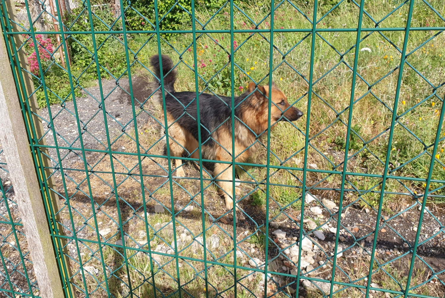 Discovery alert Dog Male , 5 years Cramchaban France