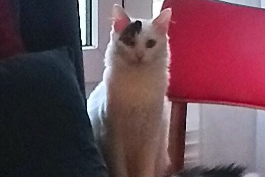 Disappearance alert Cat miscegenation Male , 1 years La Rochelle France