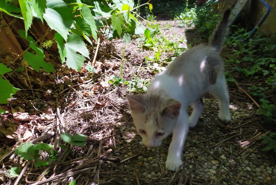Discovery alert Cat Unknown , Between 4 and 6 months Le Puy-en-Velay France