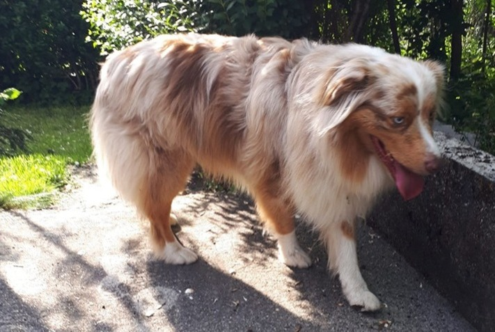 Discovery alert Dog  Male , 4 years Saint-Pierre-en-Faucigny France