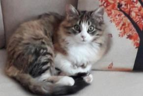 Disappearance alert Cat miscegenation Female , 1 years Lorp-Sentaraille France