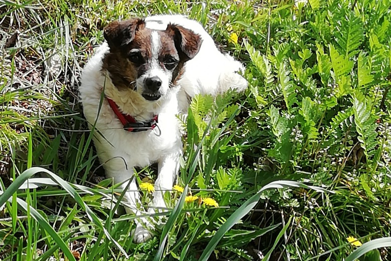 Disappearance alert Dog Male , 6 years Montpezat-de-Quercy France