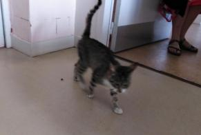 Discovery alert Cat Male , Between 4 and 6 months Jublains France