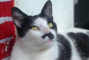 Disappearance alert Cat Male , 11 years Aixe-sur-Vienne France