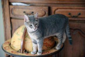 Disappearance alert Cat  Male , 4 years Grisolles France