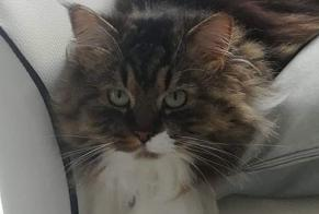 Disappearance alert Cat  Male , 3 years Saint-Sulpice-la-Pointe France