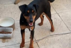 Discovery alert Dog miscegenation Male , 1 year Lys-Haut-Layon France