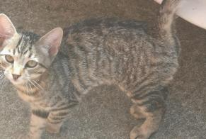 Discovery alert Cat Male , Between 4 and 6 months Saint-Barthélemy-d'Anjou France
