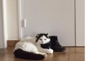 Disappearance alert Cat Male , 9 years Crozon France