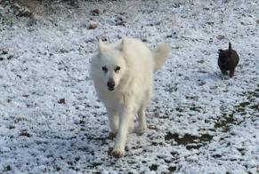 Disappearance alert Dog  Male , 11 years Bourg-de-Péage France