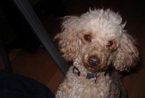 Disappearance alert Dog  Female , 14 years Panazol France