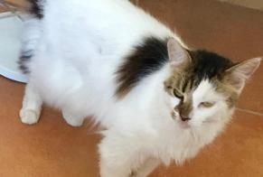 Disappearance alert Cat miscegenation Female , 6 years Colombes France