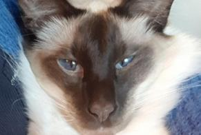 Disappearance alert Cat  Male , 3 years Colombes France