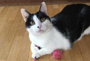 Disappearance alert Cat Male , 8 years Suresnes France