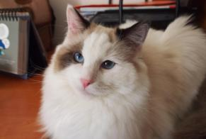 Disappearance alert Cat  Male , 4 years Saint-Sulpice-les-Feuilles France