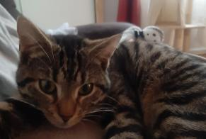 Disappearance alert Cat Male , 1 years Viroflay France