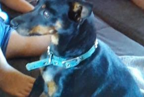 Disappearance alert Dog  Female , 9 years Corzé France