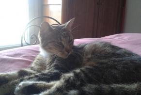 Discovery alert Cat miscegenation Female , 1 year Nantes France