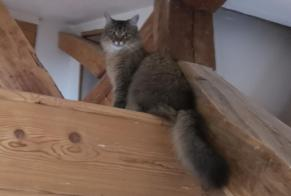 Disappearance alert Cat Female , 4 years Condrieu France