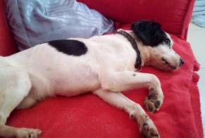 Discovery alert Dog miscegenation Male , 2 years Saint-Quentin France