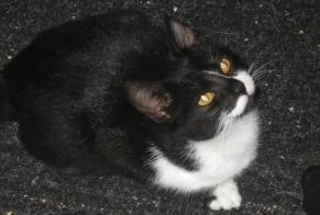 Disappearance alert Cat miscegenation Female , 5 years Thouars France