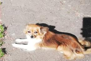 Disappearance alert Dog  Female , 7 years Athies-sous-Laon France
