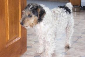 Disappearance alert Dog  Female , 17 years Saint-Hilaire-du-Harcouët France