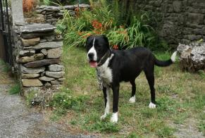 Discovery alert Dog miscegenation Male , 3 years Pluherlin France