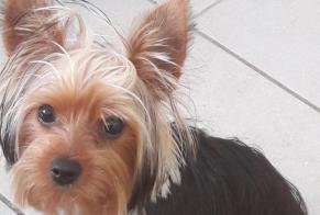 Disappearance alert Dog  Male , 0 years Vieux-Fort France