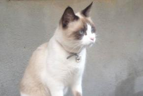 Disappearance alert Cat  Female , 8 years Marseille 12e Arrondissement France