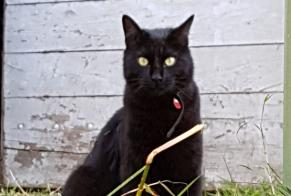 Disappearance alert Cat Male , 2 years Saint-Cirq-Lapopie France
