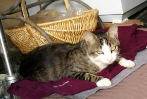 Discovery alert Cat Male , Between 9 and 12 months Béganne France