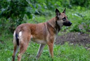Disappearance alert Dog  Female , 4 years Languidic France