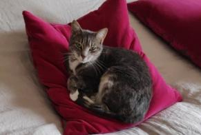 Disappearance alert Cat Female , 3 years Sarzeau France