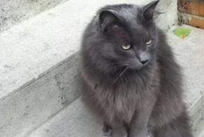 Disappearance alert Cat miscegenation Male , 11 years Maisons-Alfort France