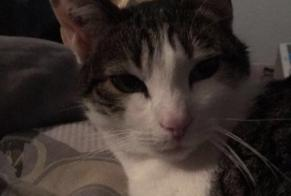 Disappearance alert Cat  Female , 3 years Saint-Jean France