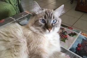 Disappearance alert Cat miscegenation Female , 1 years Fleury France
