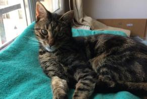 Disappearance alert Cat miscegenation Male , 7 years Le Coudray-Montceaux France