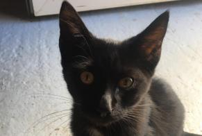 Discovery alert Cat miscegenation Male , Between 1 and 3 months Nanteuil France