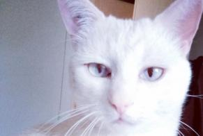 Disappearance alert Cat  Male , 2 years Laval France