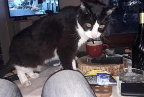 Disappearance alert Cat Male , 16 years Gramat France