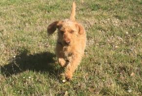 Disappearance alert Dog  Male , 1 years Cherbourg-en-Cotentin France