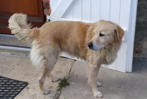 Discovery alert Dog miscegenation Female , 7 years Cordes-Tolosannes France
