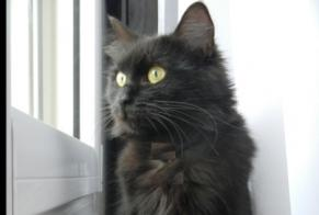 Disappearance alert Cat miscegenation Female , 10 years Poitiers France